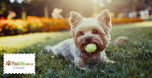 Terriers That Dont Shed by Dog Breeds That Don U0027t Shed Paw Life