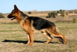 Shedding Blade German Shepherd by German Shepherd Dog Breed Information U0026 Pictures Alsatian