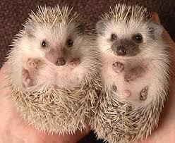 african pygmy hedgehog hedgehogs pygmy hedgehog and cuddling