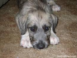 Irish Wolfhound Non Shedding by Potato Irish Wolfhound Dog Breeds