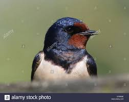 Detailed Close Up Of A The Head Of A Barn Swallow (Hirundo Rustica ... European Barn Swallow Hirundo Rustica Stock Photo Royalty Free Swallow Idaho Birds Audubon Guide To North American Posing On A Fence Of Ukraine Birdwatching Alentejo Portugal Boerenzwaluw Barn Stock Image Image Young 67199779 Detailed Close Up Hinterland Whos Who Or The Uk And Ireland Male Swallows