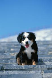 30 Dog Breeds That Shed The Most by Bernese Mountain Dog Breed Information Pictures Characteristics