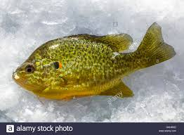 Pumpkin Seed Sunfish Pictures by Pumpkinseed Lepomis Gibbosus Sunfish Caught While Ice Fishing At