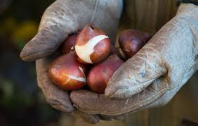 9 things you should before you plant tulip bulbs this fall