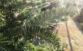 Popular Christmas Tree Species by North Carolina Researchers Are Working Genetics To Get The Perfect