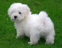 Do Bichon Pomeranians Shed by Bichon Puppies Bichon Puppies 400 Posted 6 Months Ago For Sale