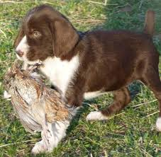 German Wirehaired Pointer Shedding by German Wirehaired Pointer Dog Breed Information Puppies U0026 Pictures