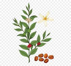 Coffee Coffea Royalty Free Tree Illustration
