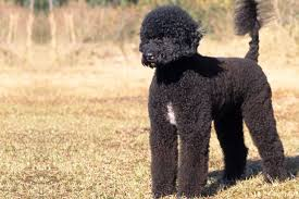 Portuguese Water Dog Non Shedding by Portuguese Water Dog Puppies For Sale From Reputable Dog Breeders