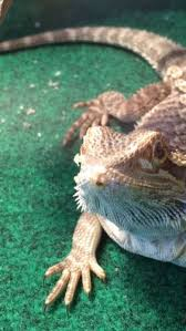 white thing coming out of nose bearded dragon org