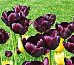 hyacinth flower bulbs for sale buy bulk hyacinth bulbs at