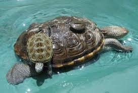 herptile spotlight 5 diamondback turtle underneath the shell