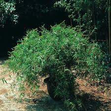 quel bambou en intérieur liste ooreka