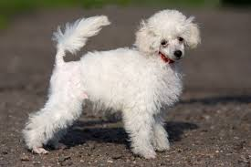 Non Shedding Small Dogs Australia by Most Popular Hypoallergenic Non Shedding Dog Breeds