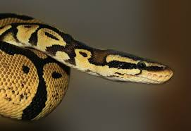 Ball Python Shedding Signs by Ball Python Care Sheet Exotic Pets Resources