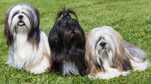 Shih Tzu Lhasa Apso Shedding by Meet The Breed Lhasa Apso