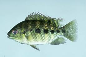Studies With Some Species Of Tilapia Show That Monoculture Male Only Ponds Do Not Produce Significantly Higher Yields Than Mixed And Female