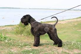 Do Giant Schnauzer Dogs Shed Hair by 40 Very Beautiful Giant Schnauzer Dog Photos And Images