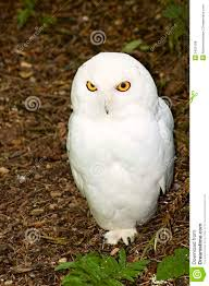 Male Snowy Owl Royalty Free Stock Photos - Image: 5455108 Barn Owl Tyto Alba Onyx On The Left Is A British Male Flickr Fimale 3 6942373687jpg Wikimedia Commons Ruffled Feathers November 2014 Mysterious Wise Barn Owl In Shadows Nocturnal Hunter World Bird Sanctuary January 2013 Owls Ghosts And Noises Night The Trust Lone Pine Koala Owlline Owllinelovers Twitter Audubon Field Guide A Brief Introduction To Common Types Of Barney California Raptor Center Connecticuts Beardsley Zoo