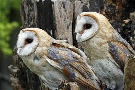 What Male Owls Want: Big Spots Lets Talk About Birds Barn Owl Pittsburgh Postgazette Couple Owls Stock Photo 30126931 Shutterstock Watch The Secret To Why Barn Owls Dont Lose Their Hearing New Zealand Online Let You Know Birdnote Owl John James Audubons Of America Information Found Suffer No Loss As They Age Facts Pictures Diet Breeding Habitat Behaviour Baby Youtube