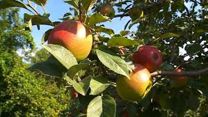 Best Pumpkin Patch Minneapolis by Best Places To Go Apple Picking Near Minnesota Wcco Cbs Minnesota