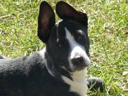 Do Blue Heeler Border Collies Shed by What Kind Of Doggie Is This Border Collie Lab Boxer Terrier