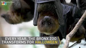 Bronx Zoo Halloween 2017 by Bronx Zoo Hosts U0027boo At The Zoo U0027 Month Of Spooky Events Nbc New York