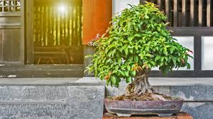 bonsai bäume kaufen pflegen und schneiden ndr de