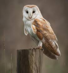 A Brief Introduction To The Common Types Of Owls Watch The Secret To Why Barn Owls Dont Lose Their Hearing 162 Best Owls Images On Pinterest Barn And Children Stock Photos Images Alamy Owl 10 Fascating Facts About Species List Az 210 Birds Drawing Photographs Of Cave By Tyler Yupangco 312 Beautiful Birds