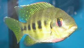 How To Make Money With Tilapia