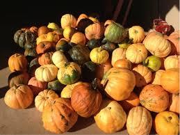 Varieties Of Pumpkins by 20 4 Pumpkin Plantbreeding