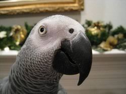 Parrot Caught Singing Bodies Hit The Floor by Behavior U0026 Body Language The World Of African Greys