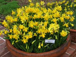 planting daffodil bulbs and narcissus flowers for color