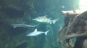 requins blanc picture of aquarium la rochelle la rochelle