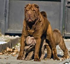 Do Shar Peis Shed Hair by 81 Best Chinese Shar Pei U0027s Images On Pinterest Puppies Shar Pei