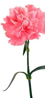 67 best Pink Carnations images on Pinterest