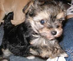 Morkies Do They Shed by Morkie Puppies On Morkie Dog Breed Yorktese Dog Breed Morkie