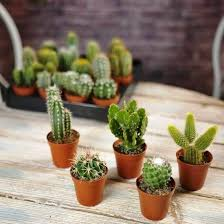 die beliebtesten kaktus arten für den innenraum wohnideen