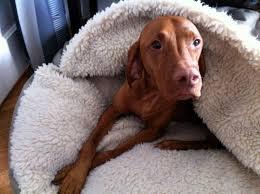 do vizsla dogs shed 1338 best weims and vizslas images on hungarian vizsla