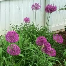 allium bulbs mckeon s garden