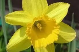 buy tamara daffodil bulbs order ashridge nurseries