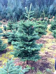 Silver Tip Christmas Tree Oregon by Christmas Tree Caring For Camille