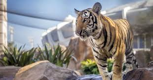 100 Tiger Truck Stop Louisiana LSUs Mike The Stalks Visitors In Viral Video