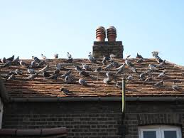 News 100 How To Get Rid Of Pigeons On My Roof The Loft Design Dave Keep Birds Out Birdbgone Blog 4 Ways To Of Starlings Wikihow Dairy Barns Birdfree With 3 Tips Avian Control 25 Unique Pigeon Repellent Ideas On Pinterest Obama Care Dealing Barn Farmtek Panting In Racing When Is It Normal And Not Air Rifle Hunting 6 Shooting Pigeons Pest Control Youtube Fat Cuuute Eye Spy Bird Animal Selective Breeding Deterrents Why Uv Light May Be The Answer B