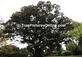 Christmas Tree Species by Fig Trees Pictures U0026 Facts On The Fig Tree Species