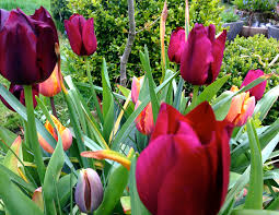 learning about tulip bulbs gardening forum gardenersworld
