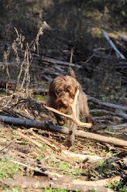 Springer Spaniel Shed Hunting by Dogs Archives
