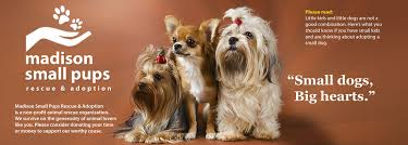 Small Non Shedding Dogs For Adoption by Madison Small Pups Small Dogs Big Hearts