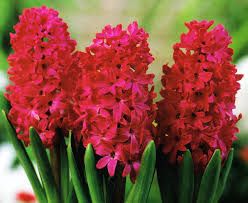 3 jan bos hyacinth bulbs hyacinth fragrant deer