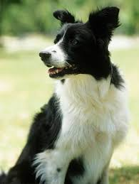 Do Blue Heeler Border Collies Shed by Border Collie Sickness Pets